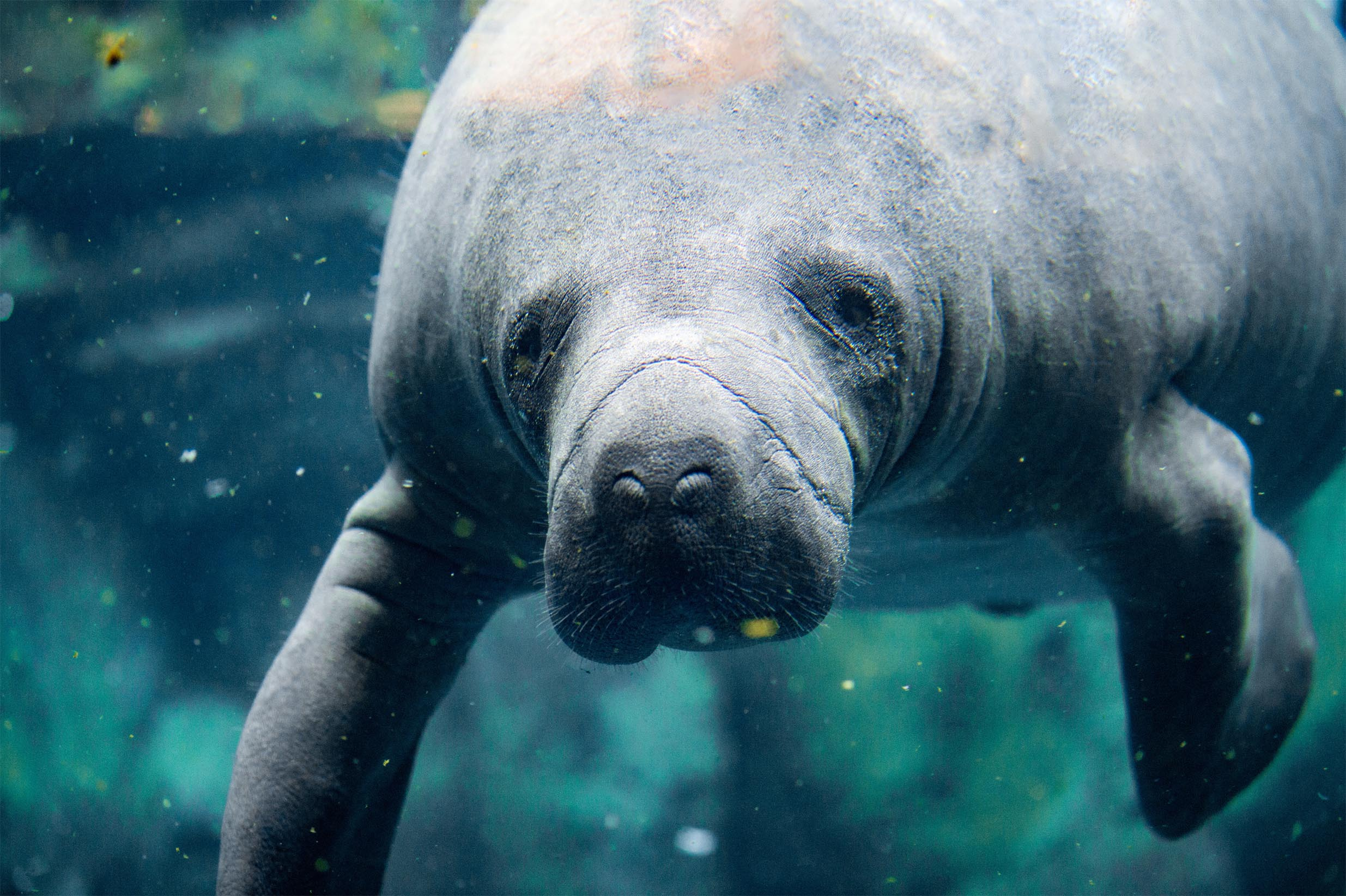 SWIM WITH MANATEES? YES!